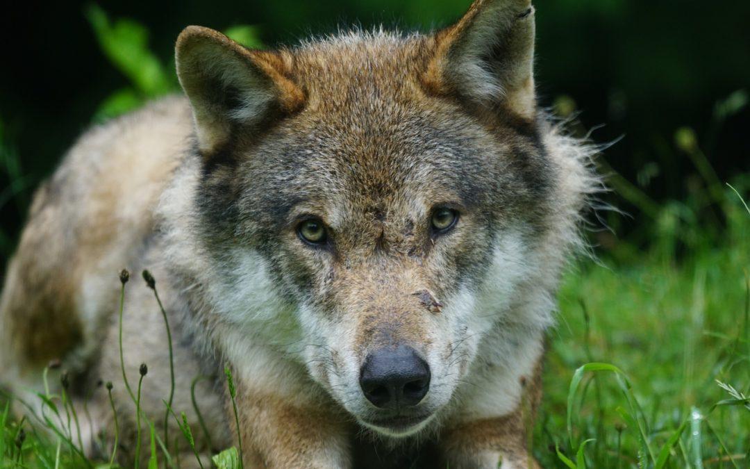 Problematika vlků vpřírodě