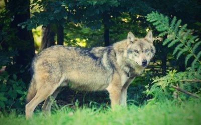 PRÁCE: Příští týden chystáme kulatý stůl na téma: Problematika výskytu vlků vČR