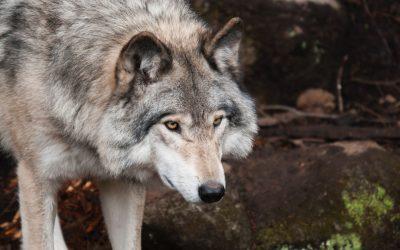 PRÁCE: Nový program péče o vlky – nejzásadnější body